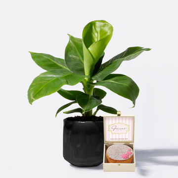 Banana Plant mit Keramikübertopf mit Nusskuchen