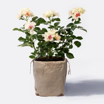 Bienen-Rose mit Jutesack