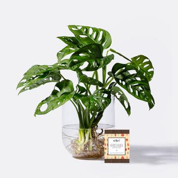 Monstera Monkey Leaf Water Plant mit Wildbach Edle Vollmilchschokolade