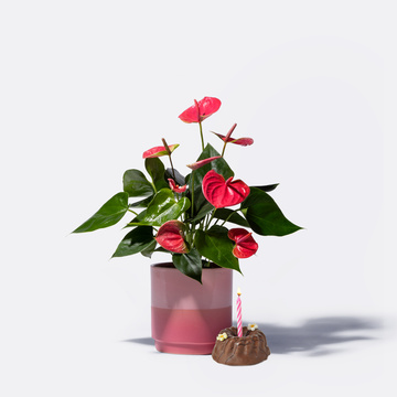 Anthurie in Pink mit Keramik-Übertopf mit Geburtstagsküchlein mit Kerze
