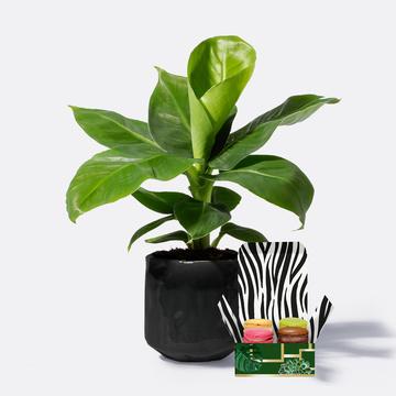 Banana Plant mit Keramikübertopf mit feinen Macarons