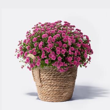 Chrysantheme Violett mit Korb