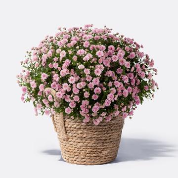 Chrysantheme Rosa mit Korb