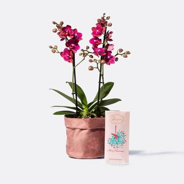Blütentraum Orchidee in Pink mit Samt-Übertopf mit Schokolade Merry Christmas