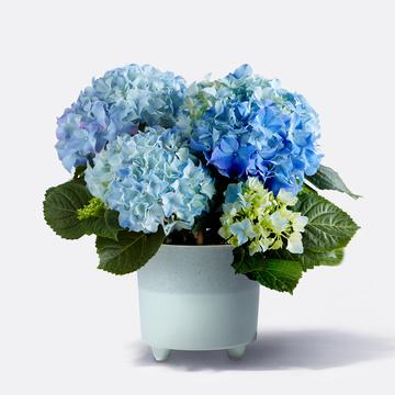 Hortensie in Blau mit Keramik-Übertopf