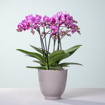 Orchidee Bellissimo mit Keramik-Übertopf