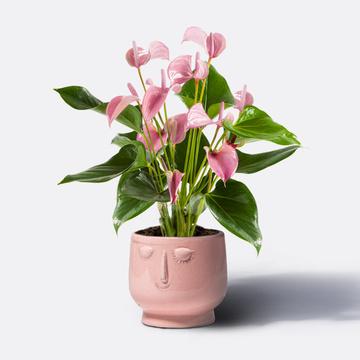 Anthurie in Rosé mit Keramik-Übertopf