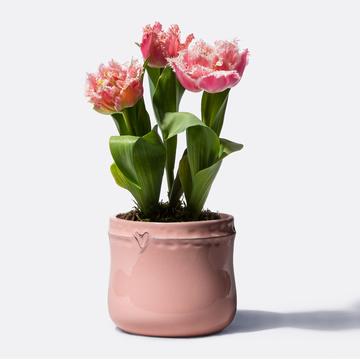 Tulpe gefranst in Rosa mit Keramik-Übertopf