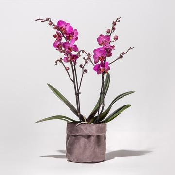 Orchidee in Pink mit Samt-Übertopf