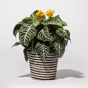 Zebrapflanze Aphelandra mit Korb