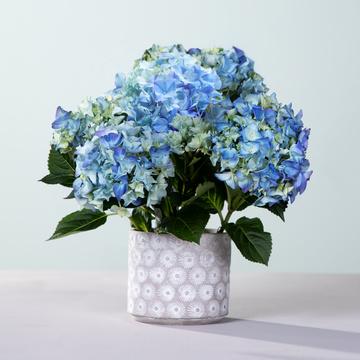 Hortensie in Blau mit Übertopf