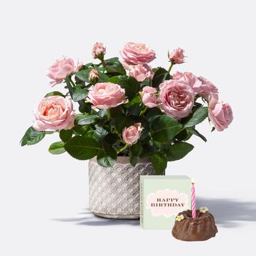 Topfrose Infinity® mit Übertopf mit Geburtstagsküchlein mit Kerze