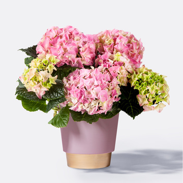 Hortensie in Rosa mit Keramik-Übertopf