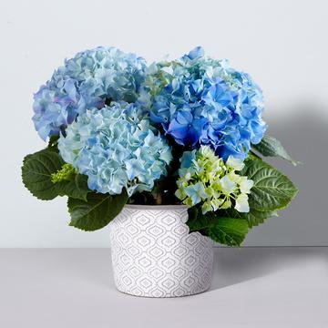 Hortensie in Blau mit Beton-Übertopf