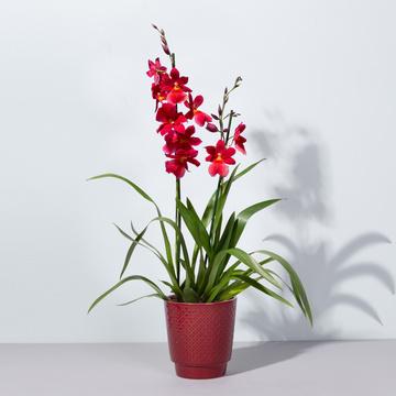 Duft-Orchidee in Rot mit Keramik-Übertopf