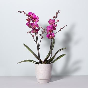 Orchidee in Pink mit Übertopf