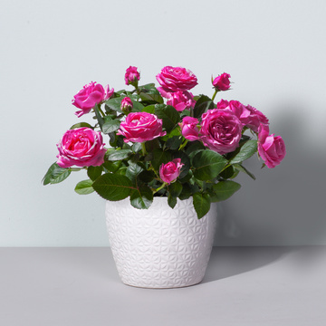 Topfrose in Pink mit Keramik-Übertopf
