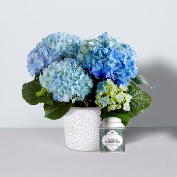 Hortensie in Blau mit Keramik-Übertopf mit Tafelgut Tee Vanilla Jasmine