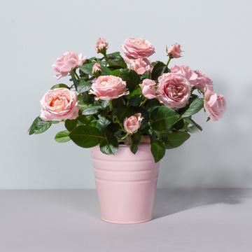 Topfrose Infinity® in Rosa mit Zink-Übertopf