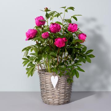 Pfingstrose in Pink mit Weiden-Korb Herz