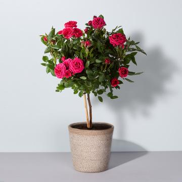 Rosenstämmchen in Pink mit Korb