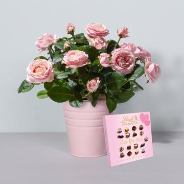Topfrose Infinity® in Rosa mit Keramik-Übertopf mit Lindt Mini Pralinés Nur für Dich