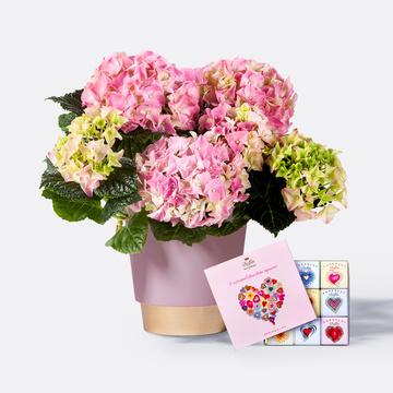 Hortensie in Rosa mit Keramik-Übertopf mit 9 gemischten Mini Schokoladentafeln
