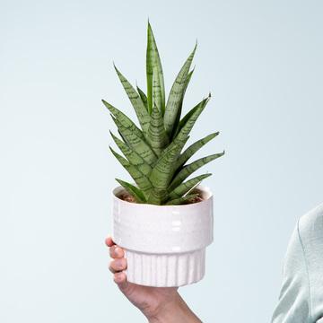 Sansevieria mit Keramik-Übertopf