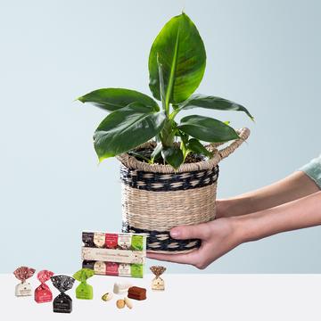 Bananenpflanze Musa mit Korb mit Tartufini dolci Mix