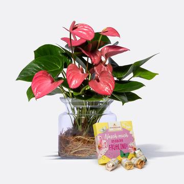 Water Plant Anthurie in Rosa mit Glasvase mit Niederegger Frühlings Mix