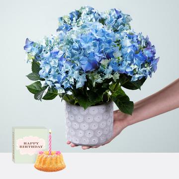 Hortensie in Blau mit Übertopf mit Sommer Geburtstagsküchlein mit Kerze