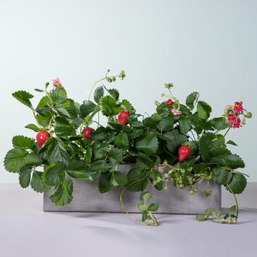 Bio Erdbeeren mit Holzkiste