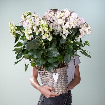 Hortensienbusch in Weiß mit Korb