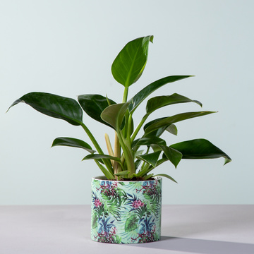 Philodendron Imperial Green mit Übertopf