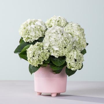 Hortensie in Weiß mit Übertopf