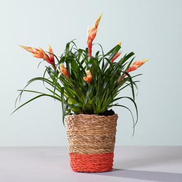 Vriesea Multicolor mit Korb