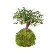 Kokedama Moosball mit Tablett