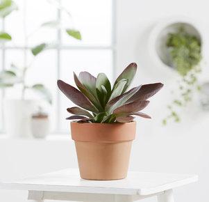 Pflanze Kalanchoe Thyrsiflora in Rot und Grün