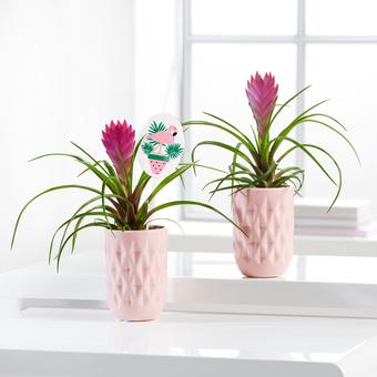 Tillandsien-Set Flamingo Summer mit Stecker und Töpfen