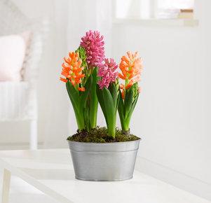 Pflanze Hyazinthen-Schale in Orange, Rosa, Pink, Silber und Grün