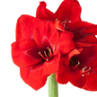 Amaryllis No-Water in Rot mit Wachs in Rot