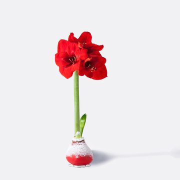 Wachs Amaryllis No-Water in Rot