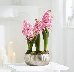 Pflanze Hyazinthen-Trio in Rosa, Silber und Grün