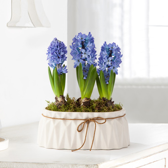 Hyazinthen in Blau im Keramik-Übertopf