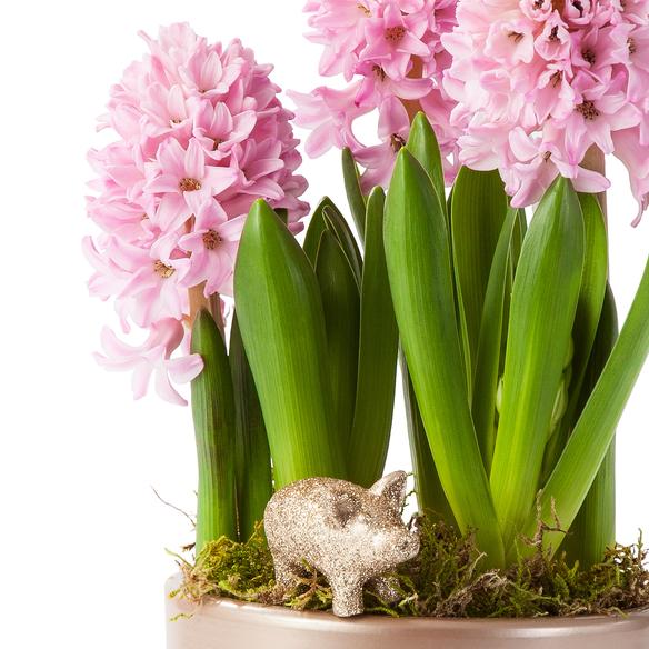 Hyazinthe im Übertopf mit Glücksschwein