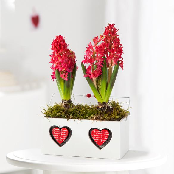 Hyazinthe in Rot im Herz-Kasten