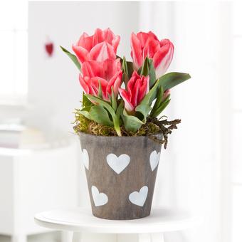 Tulpen in Rot und Weiß im Übertopf