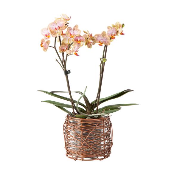 Orchidee Phalaenopsis im Metall-Windlicht