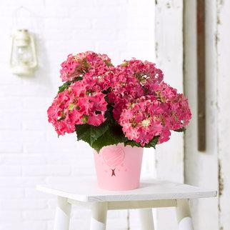 Hortensie Sparkle Pink im Übertopf