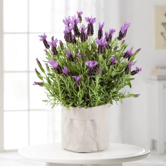 Schopf-Lavendel im Übertopf